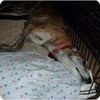 Adopt A Pet :: Chatter (Gabe Chaturanga) - Chagrin Falls, OH