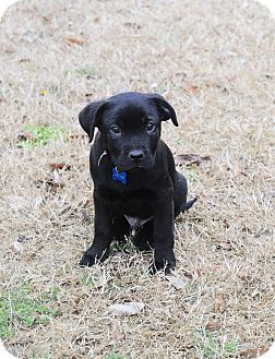 Labrador Retriever Mix Puppy for adoption in Rochester, New Hampshire - Ziggy
