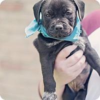 Adopt A Pet :: Boots - Kingwood, TX