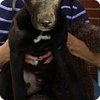Adopt A Pet :: Buckaroo - Homer, NY