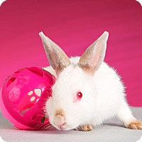 Adopt A Pet :: Shoku - Marietta, GA