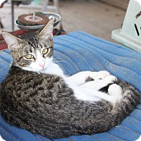 Adopt A Pet :: white tabby - Morriston, FL