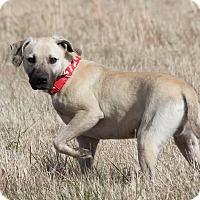 Adopt A Pet :: Major - Broken Arrow, OK