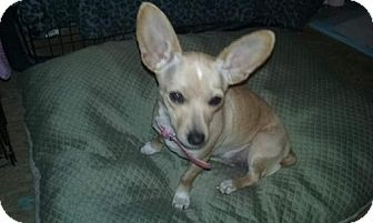 Chihuahua Dog for adoption in Decatur, Alabama - Lana