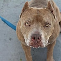 Pit Bull Terrier/American Staffordshire Terrier Mix Dog for adoption in Fort Lauderdale, Florida - Andy