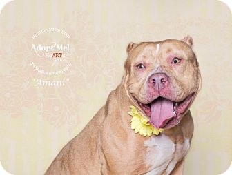 Pit Bull Terrier Mix Dog for adoption in SEattle, Washington - Amani