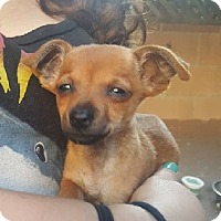 Chihuahua/Dachshund Mix Puppy for adoption in Burbank, California - Foxy