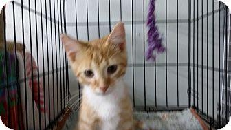 Domestic Shorthair Kitten for adoption in Port Clinton, Ohio - Half Pint