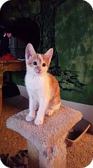 Domestic Shorthair Kitten for adoption in Glendale, Arizona - Jellybean