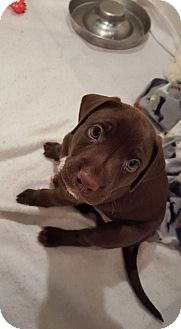 Labrador Retriever Mix Puppy for adoption in Westminster, Maryland - Cupid