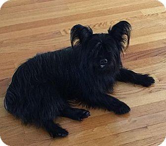 Skye Terrier/Scottie, Scottish Terrier Mix Dog for adoption in Cary, North Carolina - Skye