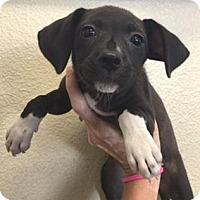 Adopt A Pet :: A399130 - San Antonio, TX