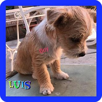 Poodle (Miniature)/Chihuahua Mix Puppy for adoption in Los Angeles, California - Luis