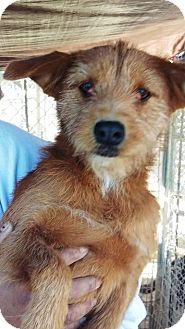 Terrier (Unknown Type, Small) Mix Dog for adoption in Las Vegas, Nevada - Ginger