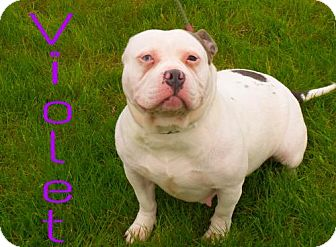 Pit Bull Terrier Mix Dog for adoption in Crown Point, Indiana - Violet