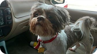 Shih Tzu Dog for adoption in Fort Worth, Texas - Bentley