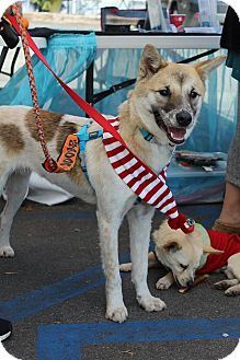 Jindo/Shiba Inu Mix Dog for adoption in Fullerton, California - Lucas