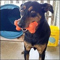 Adopt A Pet :: Bronco - Shreveport, LA
