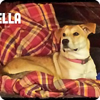 Adopt A Pet :: Bella-adoption pending - Burlington, NC