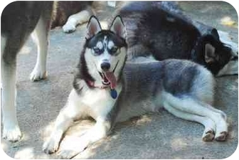 Siberian Husky Mix Puppy for adoption in Wilmington, Massachusetts - Hera