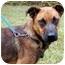 Photo 2 - Vizsla/Labrador Retriever Mix Dog for adoption in Peachtree City, Georgia - Paige