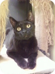 Domestic Shorthair Cat for adoption in Fort Lauderdale, Florida - Luna