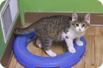Domestic Shorthair Kitten for adoption in Dover, Ohio - Gismo