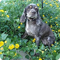 Adopt A Pet :: Julia - Sugarland, TX