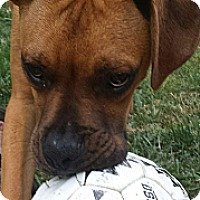 Adopt A Pet :: Boudreaux - Staunton, VA