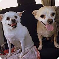 Chihuahua Dog for adoption in Melbourne, Florida - Coco/Casper