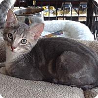 Adopt A Pet :: Benny - Horsham, PA