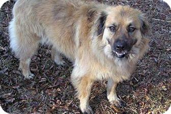 Australian Shepherd Mix Dog for adoption in Ravenel, South Carolina - Merry Merry