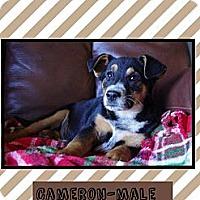 Adopt A Pet :: Cameron - Allentown, PA