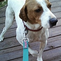 Jack Russell Terrier Mix Dog for adoption in Midlothian, Virginia - Shannon