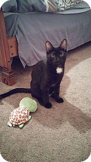 Domestic Shorthair Kitten for adoption in Oak Lawn, Illinois - Izzy