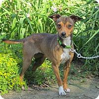 Adopt A Pet :: MOLLY - Hartford, CT