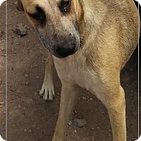 Adopt A Pet :: Sheba (in process of adoption) - El Cajon, CA