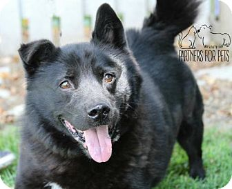 Chow Chow/Corgi Mix Dog for adoption in Troy, Illinois - Kaboom