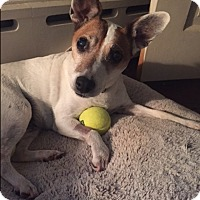 Jack Russell Terrier Dog for adoption in Blue Bell, Pennsylvania - Lucy