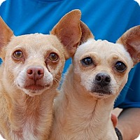 Chihuahua Mix Dog for adoption in Las Vegas, Nevada - Rascal
