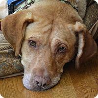 Adopt A Pet :: Storm - Purcellville, VA