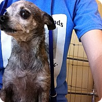 Chihuahua Mix Dog for adoption in Las Vegas, Nevada - Star