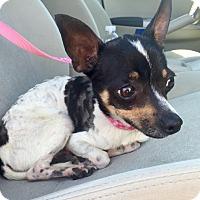 Rat Terrier Mix Dog for adoption in Wilmington, Delaware - Kellan