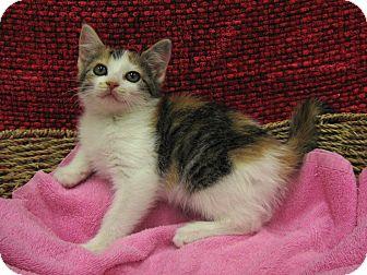 Domestic Shorthair Kitten for adoption in Redwood Falls, Minnesota - Christa