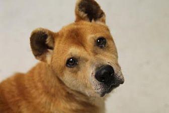 Akita/Labrador Retriever Mix Dog for adoption in Savannah, Tennessee - Niko