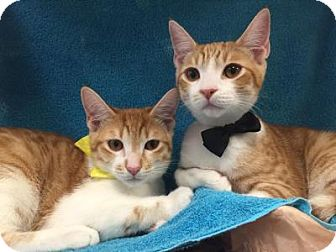 Domestic Shorthair Cat for adoption in Yorba Linda, California - Alvin and Apollo