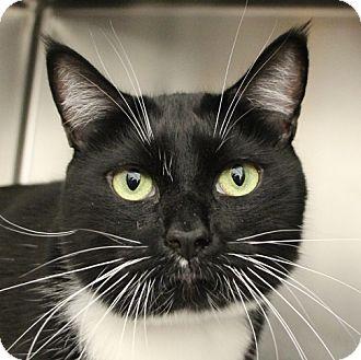 Domestic Mediumhair Cat for adoption in Las Vegas, Nevada - SYLVESTER