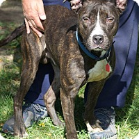Terrier (Unknown Type, Medium)/Pit Bull Terrier Mix Dog for adoption in Cleveland, Ohio - Scarecrow