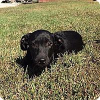 Adopt A Pet :: Bixby - Allentown, PA