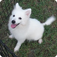 American Eskimo Dog Puppy for adoption in Venice, Florida - Zoom